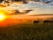 Donkeys at Sunrise in the mist