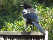 A YOUNG VISITING MAGPIE