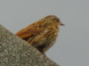 YOUNG DUNNOCK OR YOUNG ROBIN ?  I/D PLEASE