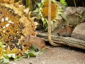 Mouse being watched by a Vole.