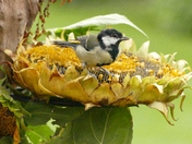 Great Tit shelters from the showers.