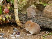 Baby voles come out to play.