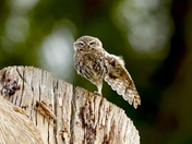 Little owl enjoying the rain,