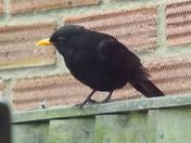 AN ALERT  MALE BLACKBIRD