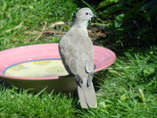 A COLLARED DOVE ON THE WATER BOWL
