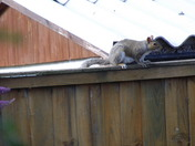ON THE FENCE A GREY SQUIRREL