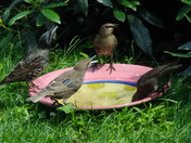 STARLINGS ON THE WATER BOWL