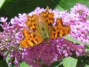 Comma Butterfly on Budlia