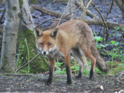 Fox  in woodland