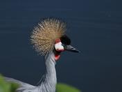 Vibrant: Grey Crowned Crane