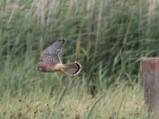 Kestrel on hunt