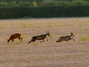 Two roe deer stags and one hind.