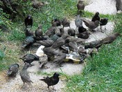 BUSY DAYS FOR STARLINGS