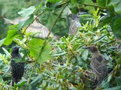 STARLINGS, SOME IMAGES