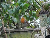 ROBINS IN THE GARDEN