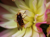 Vibrant: Hovefly and Dahlia