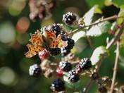 Comma butterfly on blackberry