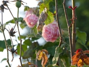 Spiders Web on last of the Summer roses.
