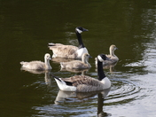 Family of Canadian geese on Squabmoor Lake