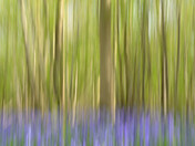 Project 52 : Abstract- bluebells in the wood