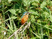 Kingfisher perches in the bushes.