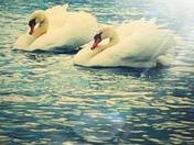 Swans gliding at eaton park