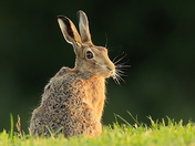 Hare in the evening light.