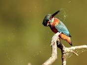Kingfisher at Lackford.