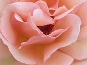Delicate Rose Bloom