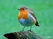 Robins at Watersmeet