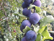 Autumn - season of mists and mellow fruitfullness......