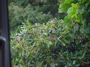 HOUSE SPARROWS IN THE SHRUBBERY