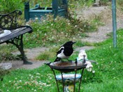 Some Magpie images