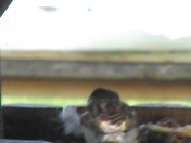 A HOUSE SPARROW IN A HURRY   SHORT VIDEO CLIP