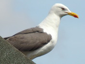 GULL ON THE ROOF