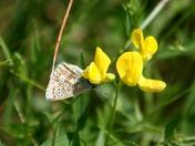 UK Butterflies and Moths