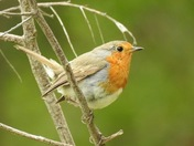 All about the robins
