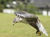 Birds of Prey and Pelican