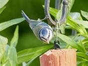 Acrobatic Blue Tit.