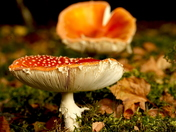 Fly Agaric toadstools, Amanita Muscaria.