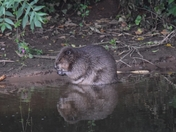 Beaver on the River Otter