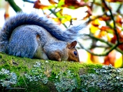 Squirrels Of Ashcombe Park.