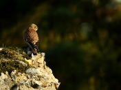 Kestrel in the Abby
