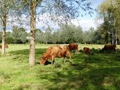 Cattle graze in the dappled shade.