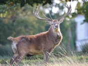 Stag in the sun!