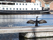 Our local Cormorant
