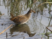 Rare Spotted Crake at Hornchurch Country Park