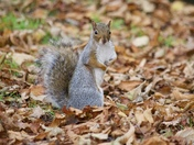 Clarence Park Squirrel