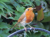 Robin with mouth full of meal worms