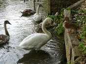 Swan meets mallard duck.